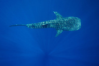 A whale shark, Rhincodon types, swims in the blue water of the Bohol Sea, Philippines, Indo-Pacific Ocean This region is home to the biggest fish in the world and is an important habitat for this endangered animal.