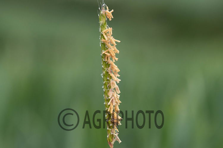 10-6-2021 Black-Grass<br /> ©Tim Scrivener Photographer 07850 303986<br />      ....Covering Agriculture In The UK....