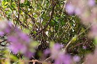 Thymian-Stängel, verholzter Stängel, holziger Stängel, Feld-Thymian, Thymian, Wilder Thymian, Feldthymian, Quendel, Breitblättriger Thymian, Arznei-Thymian, Gemeiner Thymian, Gewöhnlicher Thymian, Quendel-Thymian, Arzneithymian, Thymus pulegioides, Thymus pulegioides ssp. pulegioides, Sammelart Thymus pulegioides, Thyme, Wild Thyme, broad-leaved thyme, lemon thyme, Le thym faux pouliot, le thym à larges feuilles, le thym de bergère