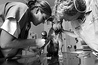 Saskia Karius (left), veterinarian for IFAW's CLAW program, which provides veterinary services to cats and dogs in some of the poorest shantytowns outside of Johannesburg, examines a puppy with billary (tick-bite fever) whose owner called CLAW for help at CLAW's clinic near Soweto, South Africa. Through its mobile clinics, outreach programs and veterinary hospital, CLAW provides life-saving support to the community's animals every day. Right is CLAW's founder and director, Cora Bailey.  2/21/12 Julia Cumes/IFAW
