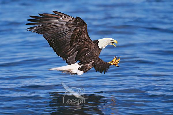 Bald Eagle diving for fish.