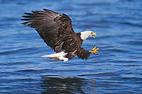 Bald Eagle diving for fish.