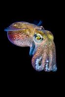 stubby squid, Rossia pacifica, a subspecies of bobtail squid, Vancouver Island, British Columbia, Canada, Pacific Ocean