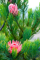 A pink mink protea (Proteacae family) blooms among the lavender fields of Alii Kula Lavender farm at the base of Haleakala, Kula