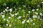 Deutschland, Bayern, Oberbayern, Rosenheimer Land, (Chiemgau), bei Rosenheim: Fruehlingswiese mit Pusteblumen (Loewenzahn) | Germany, Upper Bavaria, Rosenheimer Land, (Chiemgau), near Rosenheim: spring flower meadow with dandelions