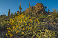 Brittlebush or brittlebrush (Encelia farinosa) is a common desert shrub of the American Southwest and northern Mexico.  Here it is found growing with saguaro cactus (Carnegiea gigantea) in Tucson Mountain Park west of Tucson, Arizona.  Feb-March.