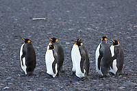 King Penguins on the Nullarbor Plain, Heard Island, Antarctica