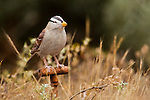 White-crowned Sparrow (Zonotrichia leucophrys) model used in playback experiments, Lobos Dunes, Presidio, San Francisco, Bay Area, California
