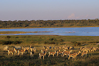 Thomson's Gazelles and Plains Zebra along shore of Lake Ndutu in Serengeti National Park, Tanzania.