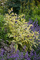 yellow variegated Comfrey foliage Symphytum uplandicum 'Axeminster Gold' with 'Walker's Low' Catmint in perennial garden border, Digging Dog Nursery