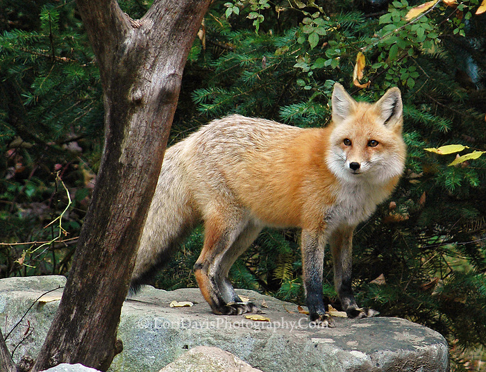 Red Fox atop Rock
