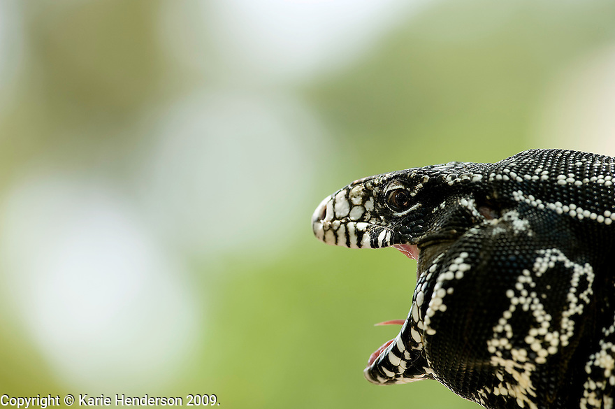 A captive Black and White Tegu, Tupinambis merianae, photographed with a handheld 300mm lens, in Montecito, California. Photo by, Karie Henderson © 2009