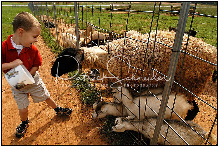 A young boy tries to feed several lambs and goats at the Lazy Five Ranch in Mooresville, NC. Lazy 5 Ranch is a privately owned exotic animal drive through park and safari in Iredell County, NC.
