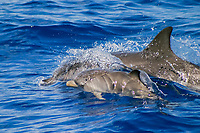 Atlantic spotted dolphins, Stenella frontalis, mother and calf, Azores Islands, Portugal, North Atlantic