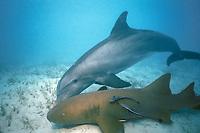 JoJo, a wild sociable bottlenose dolphin, Tursiops truncatus, or ambassador dolphin, harasses a nurse shark, Ginglymostoma cirratum, Providenciales, Turks and Caicos Islands, Caribbean Sea, (W. Atlantic Ocean)