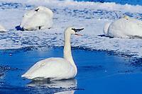 Trumpeter swans (Cygnus buccinator).  Western U.S., winter.