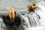 A mother grizzly bear, Ursus arctos horribilis, looks for salmon, Oncorhynchus nerka, as her three cubs look on in Alaska.
