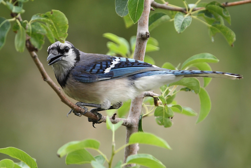Blue Jays make a large variety of calls that carry long distances. Most calls are produced while the jay is perched within a tree.