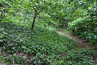 Shady hillside native plant groundcover, Ragwort or Golden Groundsel - Packera aurea (aka Senecio aureua) in Taylor garden