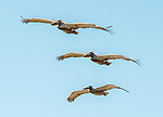 A trio of brown pelicans flies over the coast of California at Laguna Beach