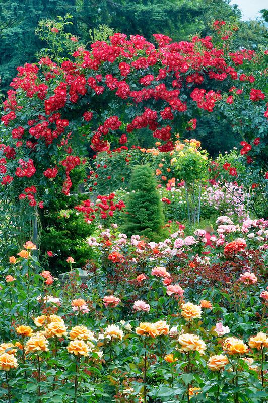 Rose arbor. Oregon Rose Test Garden. Portland. Oregon