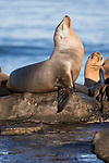 La Jolla, California; a juvenile California sea lion basking in early morning sunlight, while resting on the rocky shoreline along the Pacific Ocean