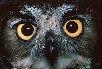 Detail portrait of the eyes and beak of a Great Horned owl.