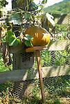 Pumpkin in garden with support