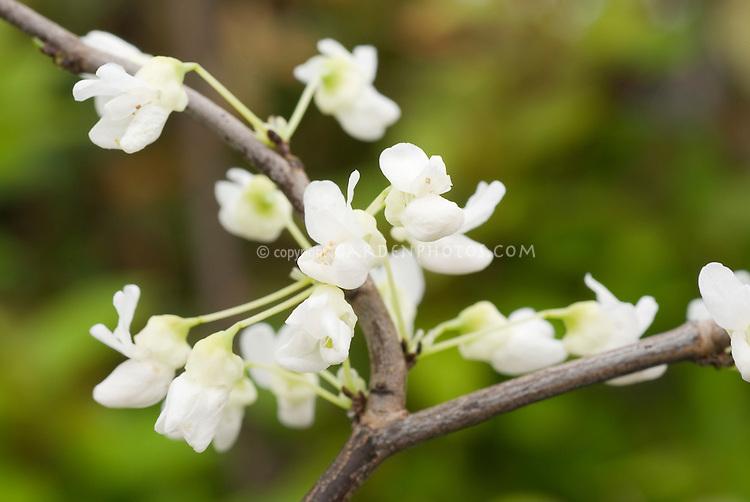 Cercis canadensis f. alba, white flowered form of Eastern Redbud tree