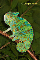 CH39-515z  Female Veiled Chameleon in display colors, Chamaeleo calyptratus