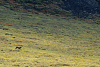 Black wolf on the tundra in Atigun Canyon, Brooks Range, Alaska