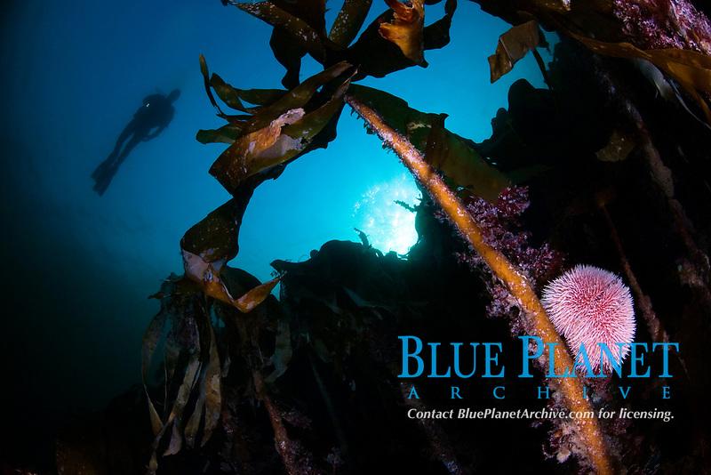 Diver, Kelp, Laminaria hyperborea, and Edible sea urchin, Echinus esculentus, Kristiansund, Møre og Romsdal, Norway, North Atlantic Ocean