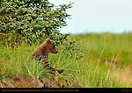 Alaskan Coastal Brown Bear Cub Watching Mother teach Fishing, Silver Salmon Creek, Lake Clark National Park, Alaska