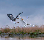 Heron and egret fight offer territories by Judy Tseng