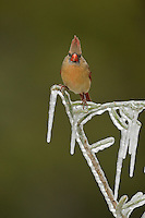 Northern Cardinal (Cardinalis cardinalis), adult male perched on icy branch of Christmas cholla (Cylindropuntia leptocaulis), Hill Country, Texas, USA