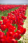 closeup of solid rows of backlit bright red tulips, glowing vibrant red in the sunshine, in a commercial field flower farm in Mt. Vernon, WA in the Skagit Valley of Washington state