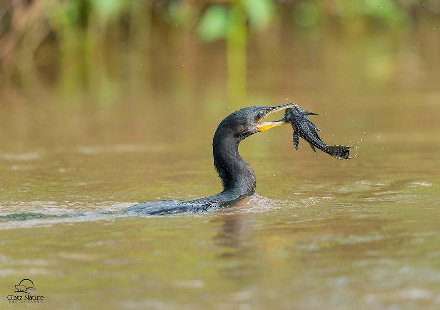 Neotropic Cormorant (Phalacrocorax brasilianus) uses its powerful, toothed beak to overpower a fish.  The Pantanal, Brazil.