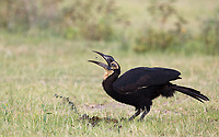 We encountered a small group of ground hornbills in Lake Manyara National Park.