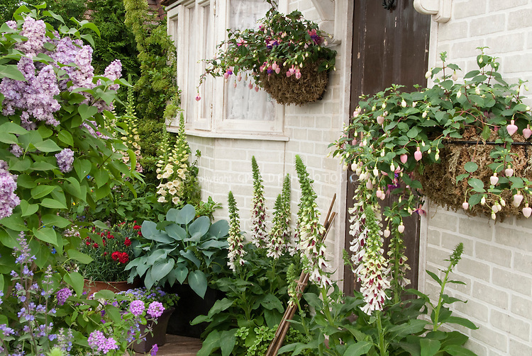 Syringa lilac in spring bloom in mixed garden at front entry of house with fuchsia in pot containers, Digitalis Pam's Split foxglove, blue hosta, red Dianthus for beautiful entry landscaping plants