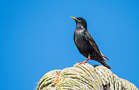 European Starling, Sturnus vulgaris, perches on a Saguaro cactus, Carnegiea gigantea, in the Desert Botanical Garden, Phoenix, Arizona