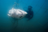 sand tiger shark, Carcharias taurus, caught in submerged shark net, placed around beaches to reduce shark attacks on swimmers, maintained by KwaZulu-Natal Sharks Board and its scuba diver removing the dead shark from the net, Durban, KwaZulu-Natal, South Africa, Indian Ocean