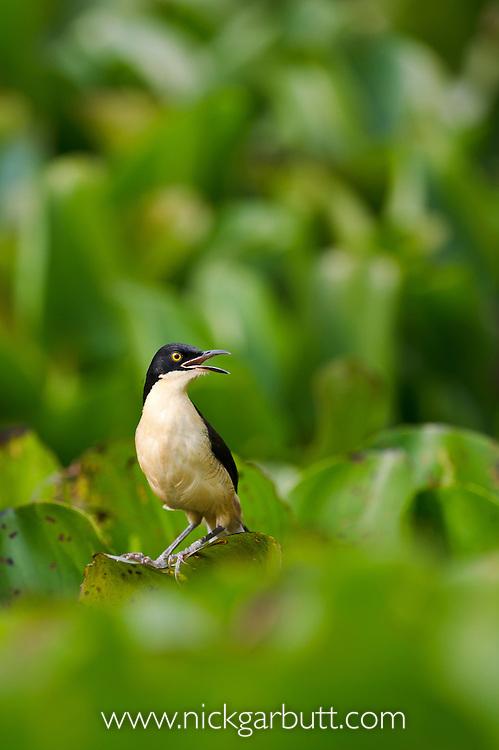 Black-capped Donacobius (Donacobius atricapilla) (Family Donacobiidae or Locustellidae) singing from floating Water Hyacinth (Eichhornia sp.). Taiama Ecological Reserve, Paraguay River, Pantanal, Brasil.