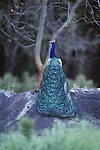 Indian blue peacock perched on a rock