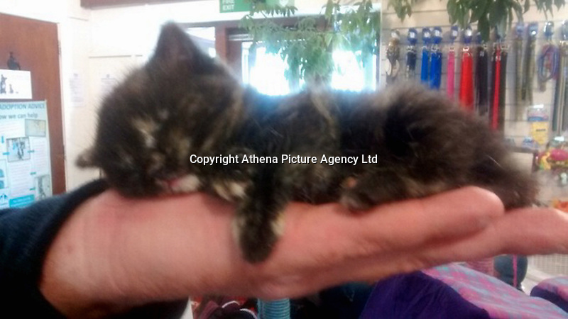 """Pictured: The kitten named Sky after it was dropped by a seagull in Rhyl, north Wales, UK.<br /> Re: A feral kitten grabbed by a seagull and dropped from the sky has been rescued by an RSPCA Cymru inspector in Denbighshire.<br /> The four-week-old kitten has been named Sky after escaping unhurt in the incident near a holiday park at Rhyl.<br /> It is being hand-reared at the charity's Bryn-Y-Maen Animal Centre at Colwyn Bay, Conwy county.<br /> A spokesman said: """"This poor kitten must have been through a terrifying ordeal.""""<br /> The centre hopes to re-home the kitten once she is old enough."""