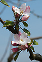 Blossom of Apple 'Dutch Mignonne', late April. A Dutch dual-purpose culinary-dessert apple first brought to England in the 1770s. sometimes known as 'Reinette de Caux'.