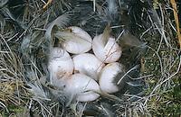 Zaunkönig, Ei, Eier, Gelege im Nest, Troglodytes troglodytes, wren, winter wren