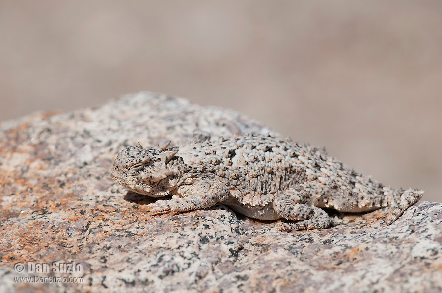 Desert horned lizard, Phrynosoma platyrhinos, blends in with its surroundings in Saline Valley, Death Valley National Park, California