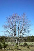 TT12-045z  Red Maple - spring, in flower - Acer rubrum