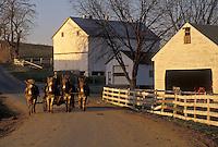 AJ3523, Amish, mule team, farmer, Amish Country, Pennsylvania Dutch Country, Pennsylvania, Lancaster County, Amish farmer drives his mule team pulling a wagon down a dirt road next to an Amish farm in Lancaster County in the state of Pennsylvania.