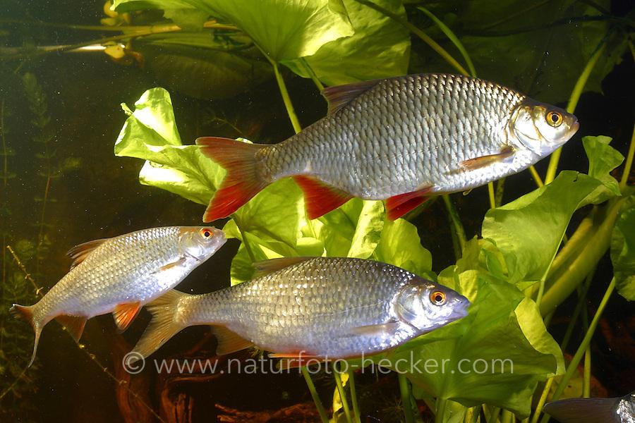 Rotfeder (oben) und Rotauge (beiden unteren Fische), Plötze, Rutilus rutilus, Scardinius erythrophthalmus, common rudd, roach
